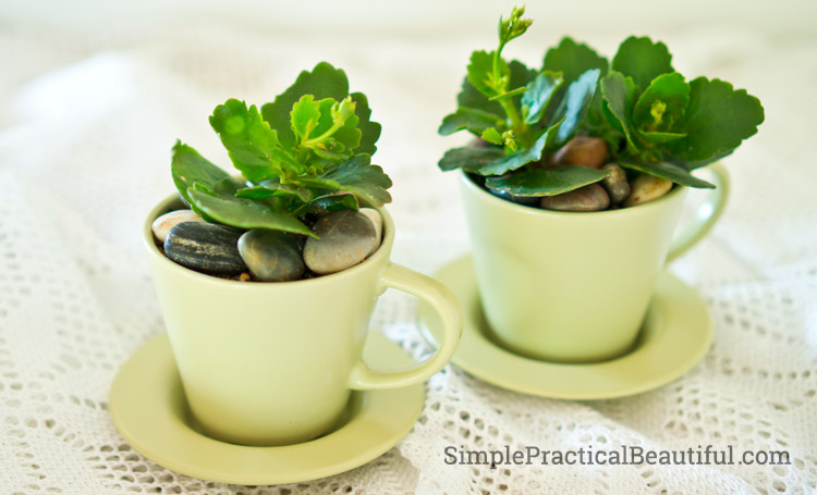 How to plant succulents in tea cups