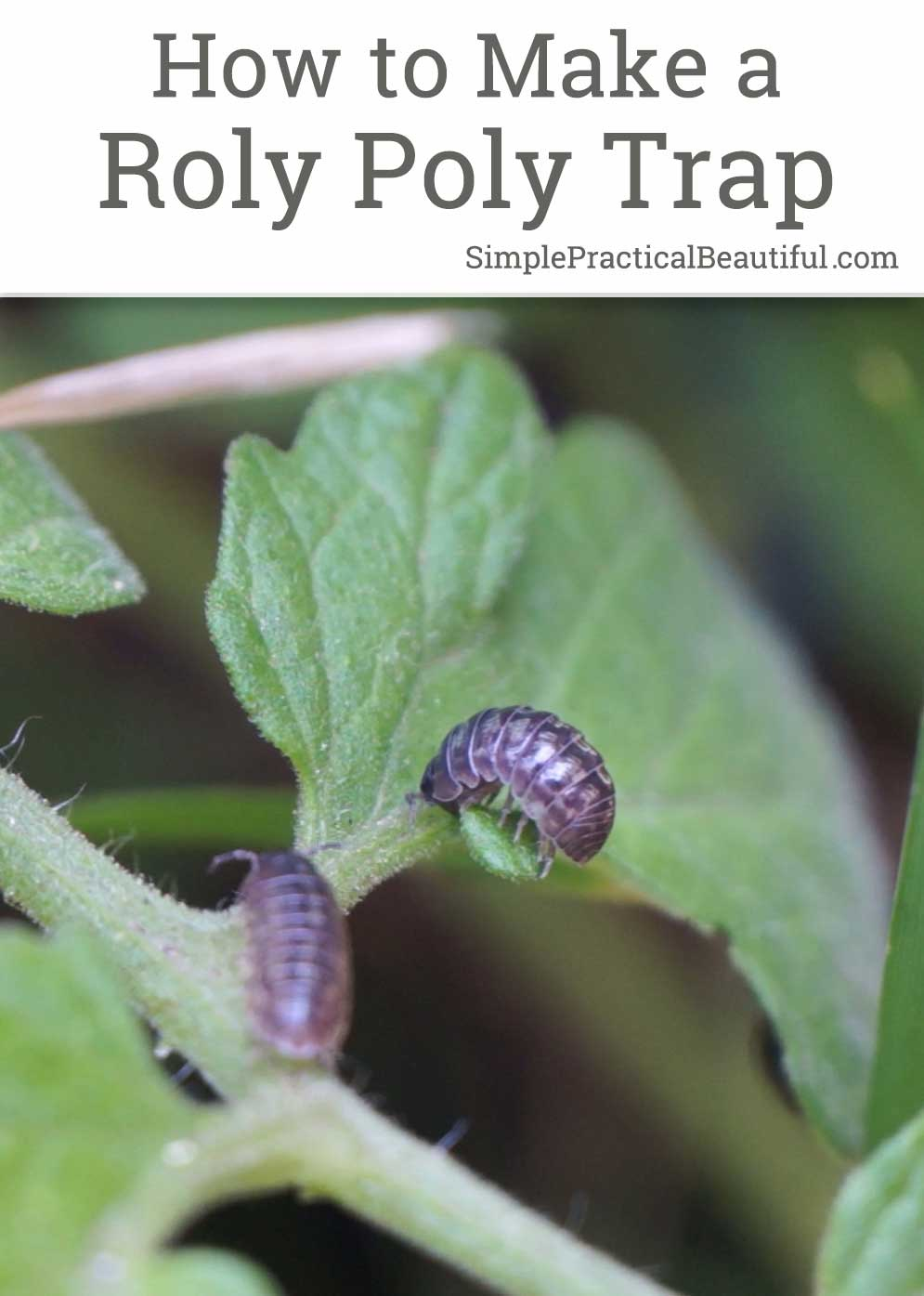Stop roly polies from eating your vegetable garden with a simple trap made out of a potato | Pill bugs, or doodle bugs, are decomposers but will eat tender, young fruit and vegetable plants | How-to gardening tutorial